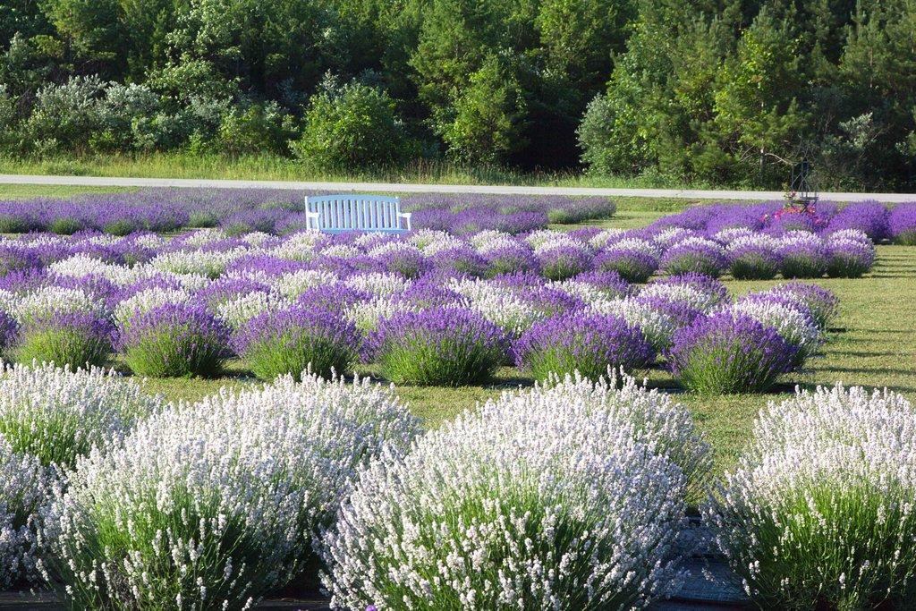 fragrant_isle_lavender_farm.jpg