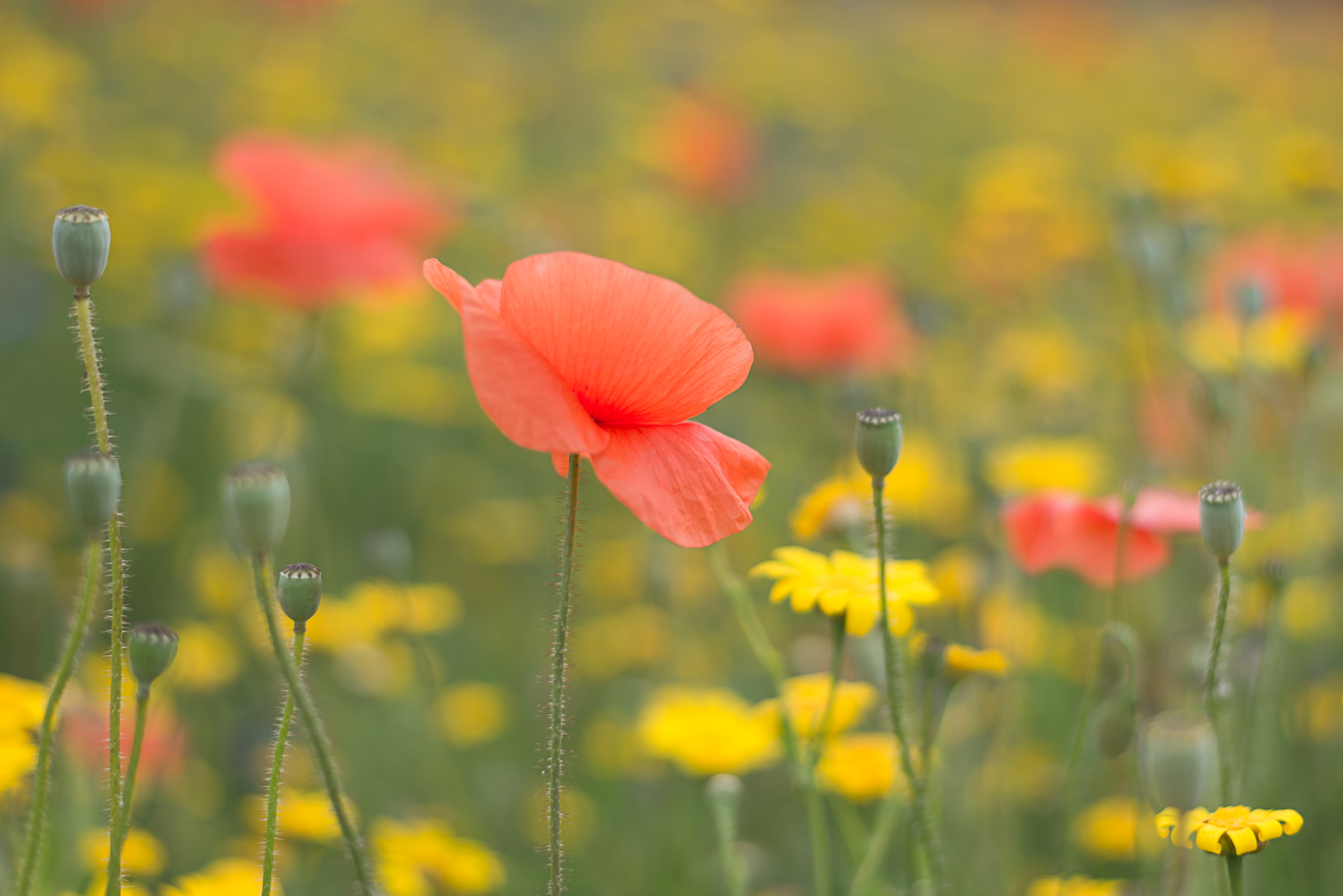 poppy-flower-bold