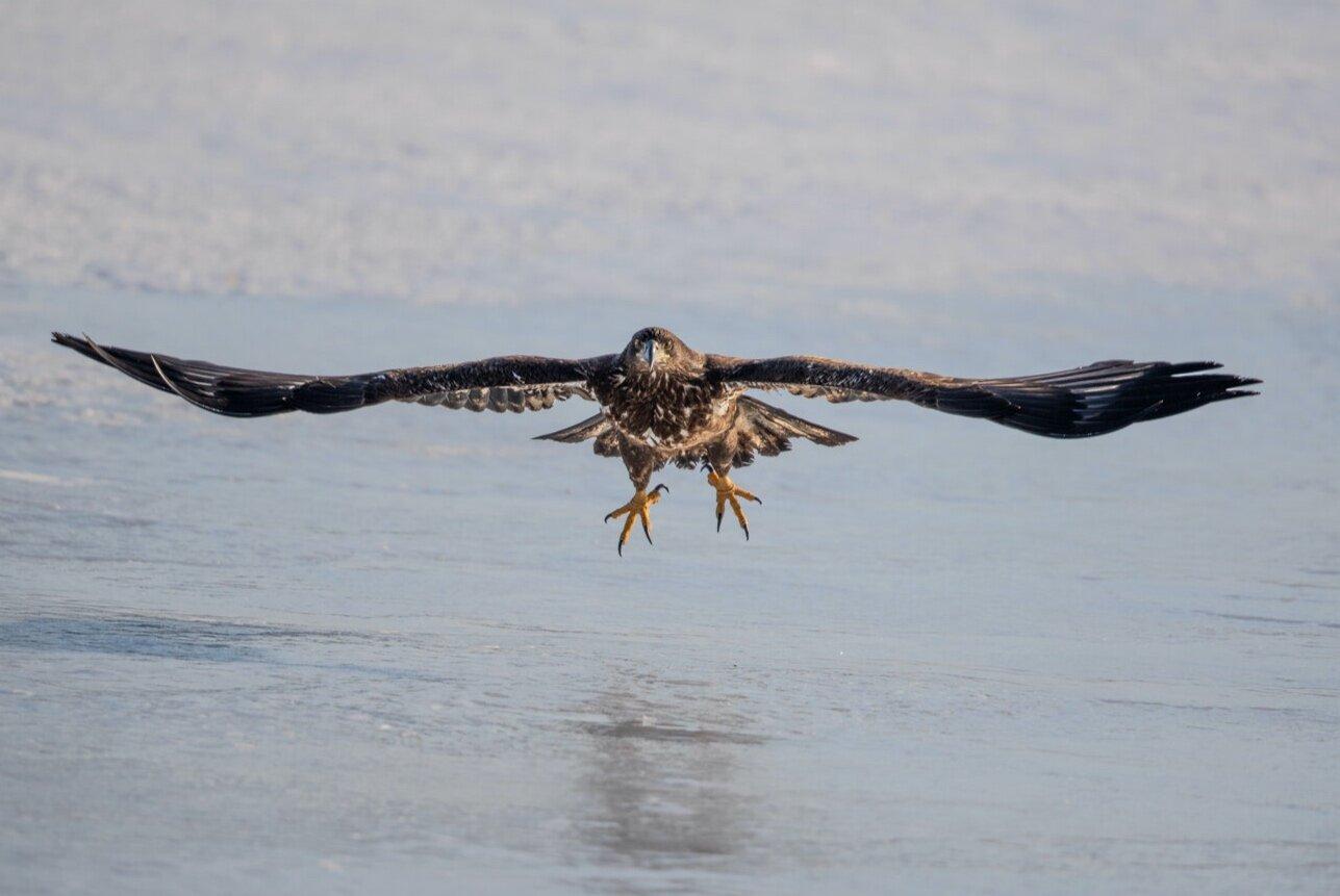 Bald+Eagle+Gull+%281+of+1%29.jpg