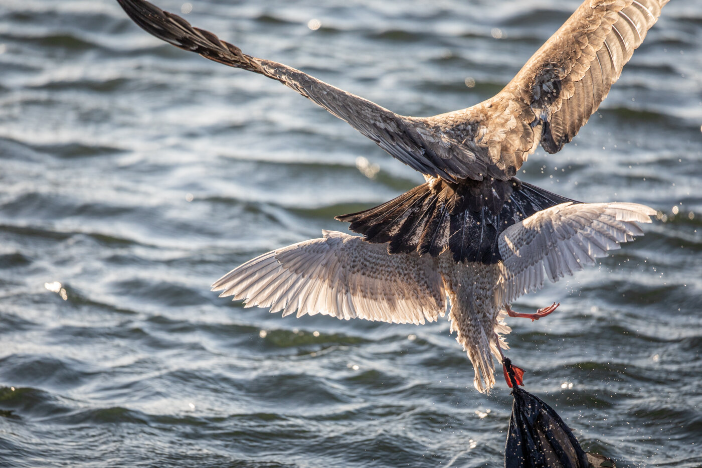 Bald Eagle Gull (2 of 14).jpg