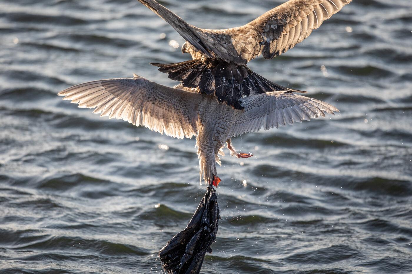 Bald Eagle Gull (3 of 14).jpg