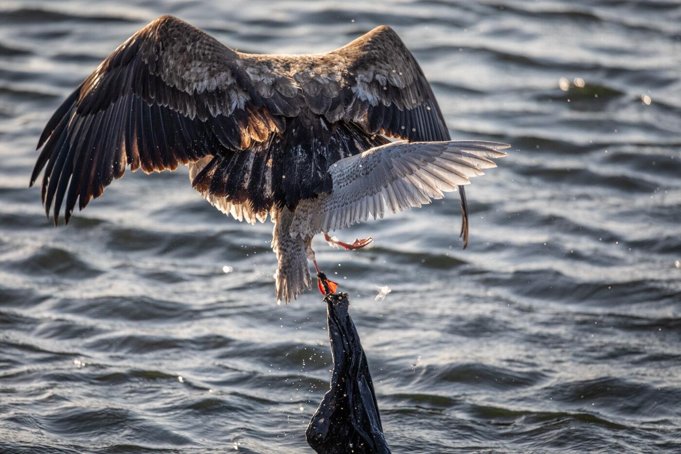 Bald Eagle Gull (4 of 14).jpg