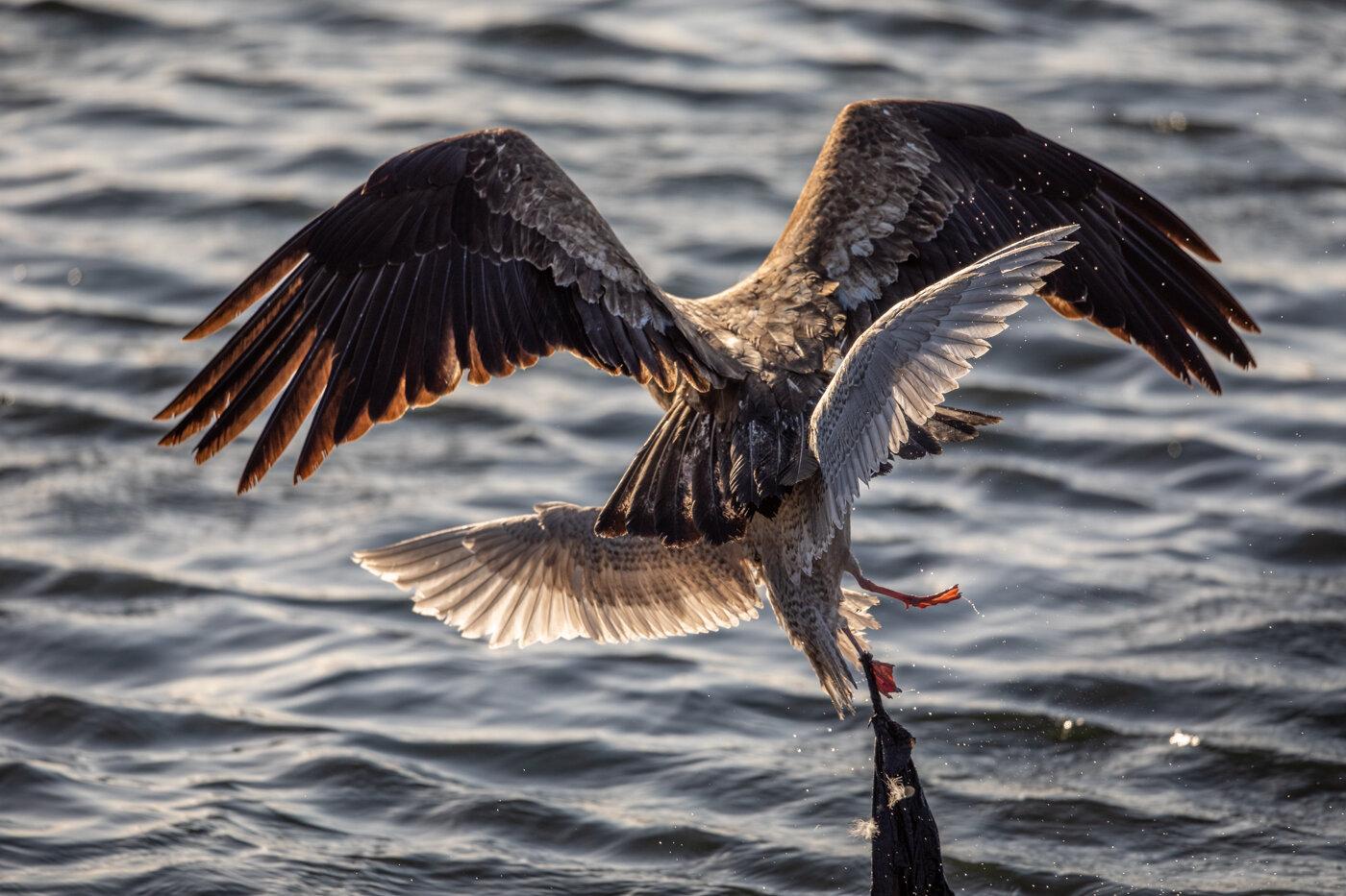 Bald Eagle Gull (5 of 14).jpg