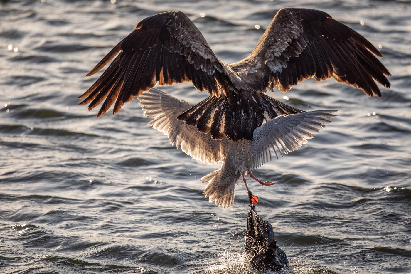 Bald Eagle Gull (7 of 14).jpg