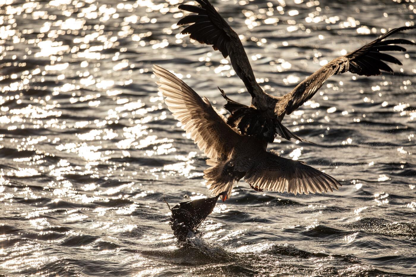 Bald Eagle Gull (8 of 14).jpg