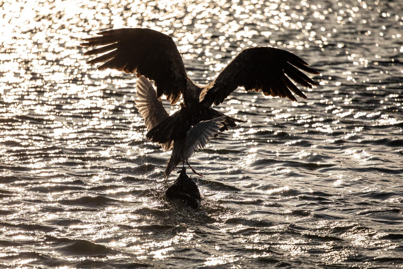 Bald Eagle Gull (9 of 14).jpg