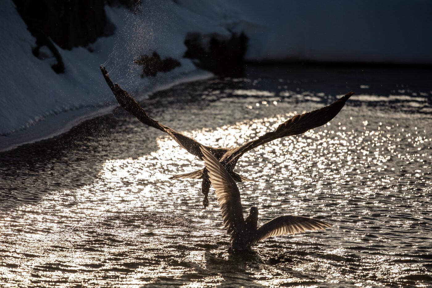 Bald Eagle Gull (10 of 14).jpg
