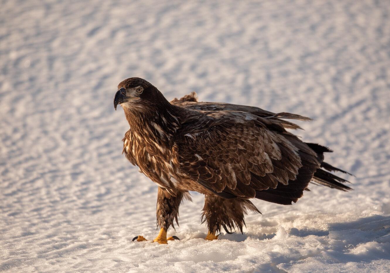 Bald Eagle Gull (11 of 14).jpg