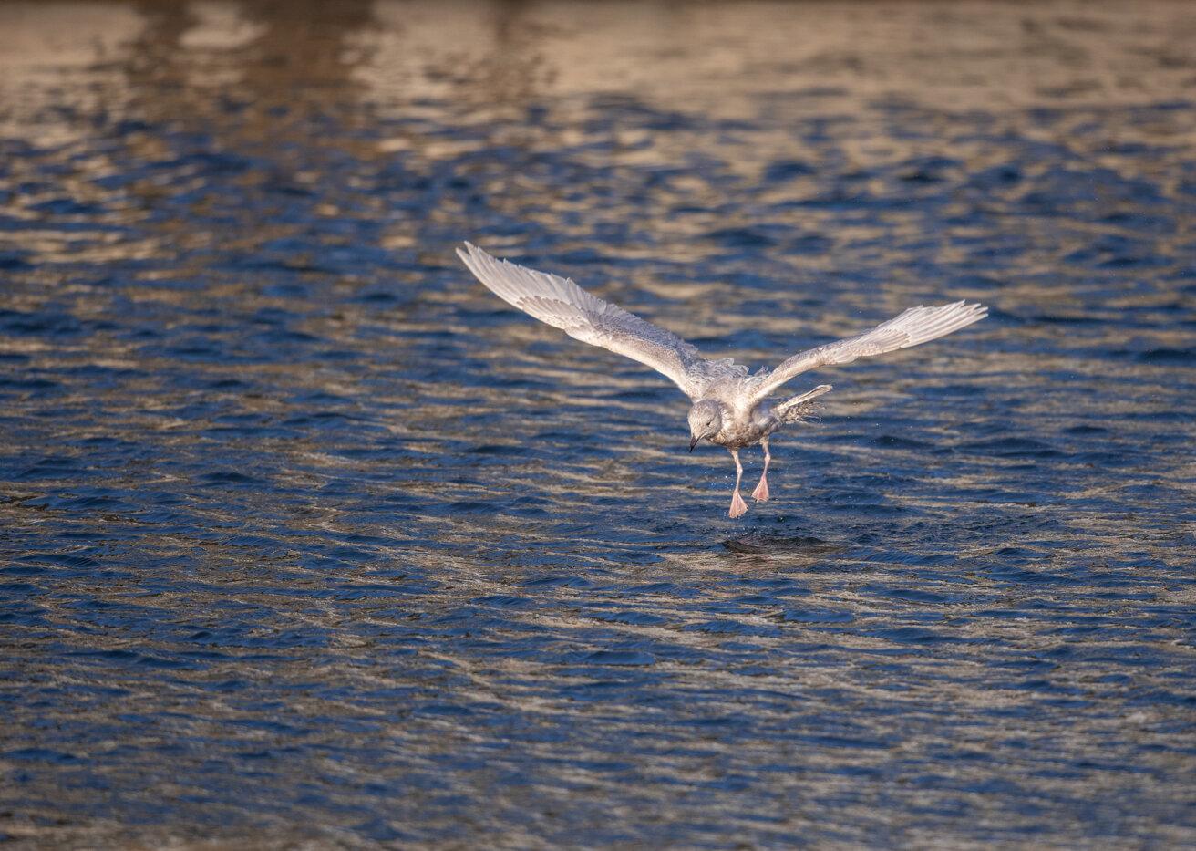 Bald Eagle Gull (12 of 14).jpg