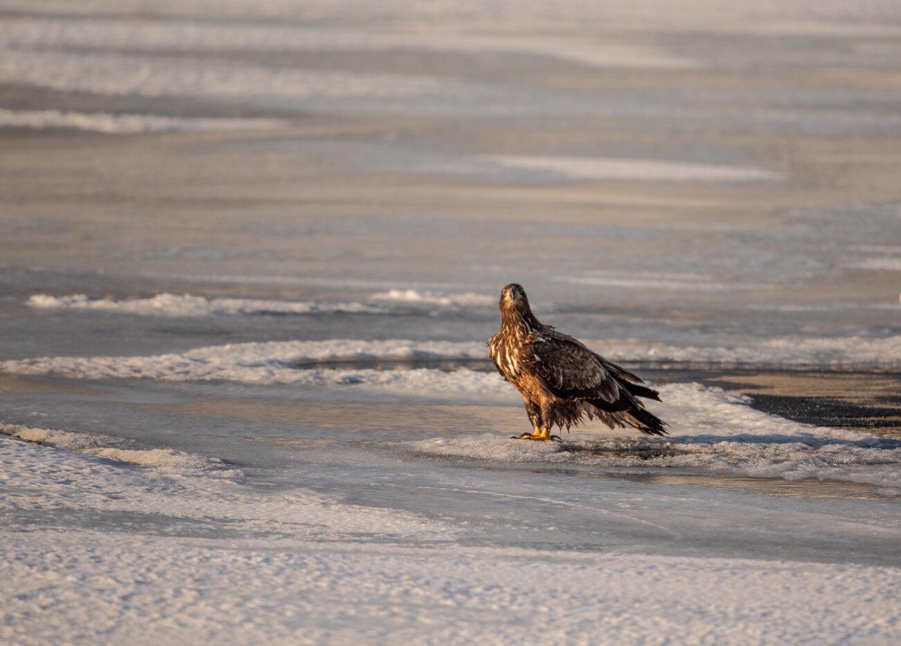 Bald Eagle Gull (13 of 14).jpg