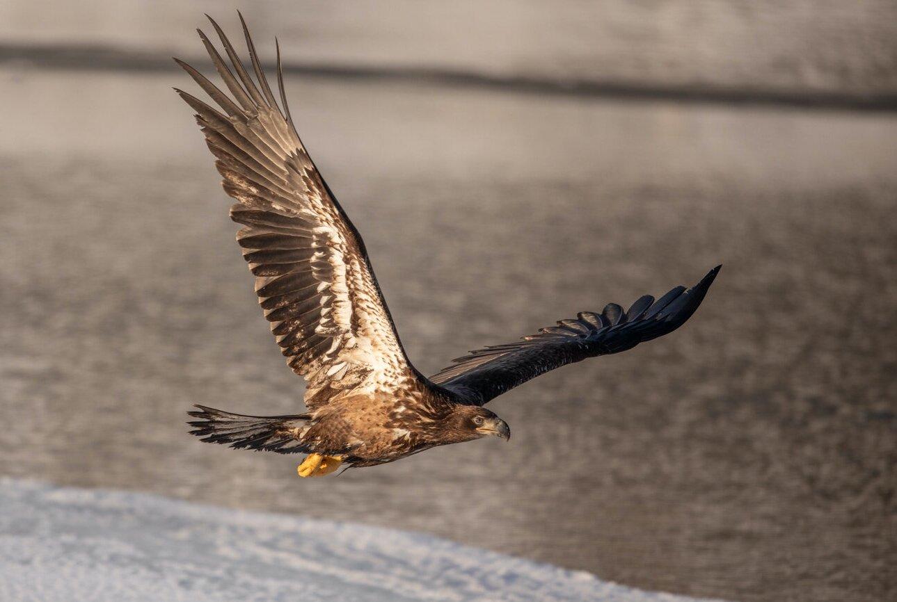 Bald+Eagle+Gull+%2814+of+14%29.jpg