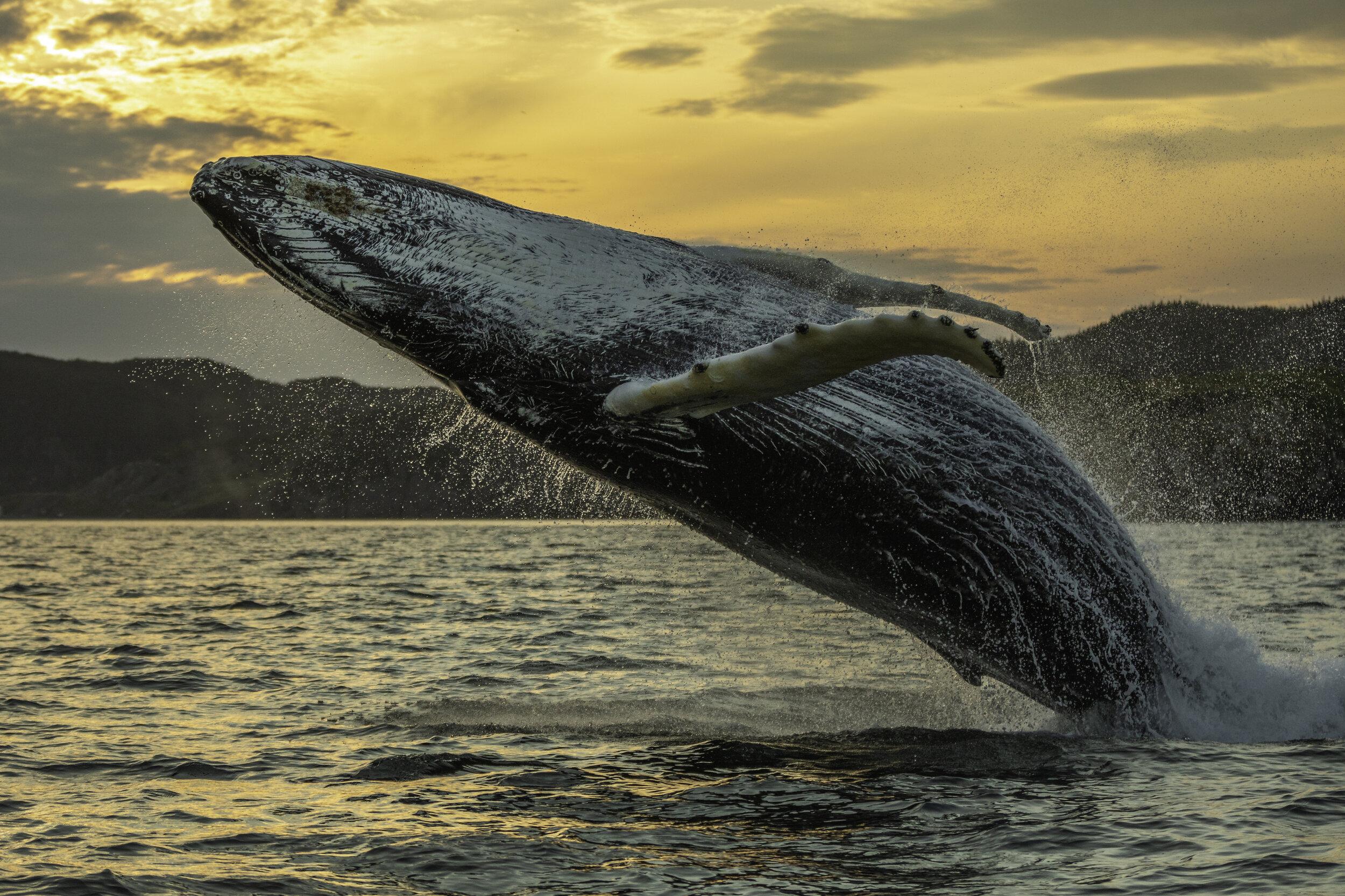 14Humpback Whale Breach One crop.jpg