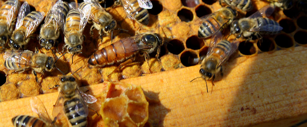 Can you spot the queen bee? Photo from  montgomerycountybeekeepers.com