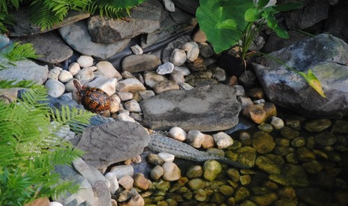 Real Eastern box turtle at Merikay's garden pond near plastic alligator friend.