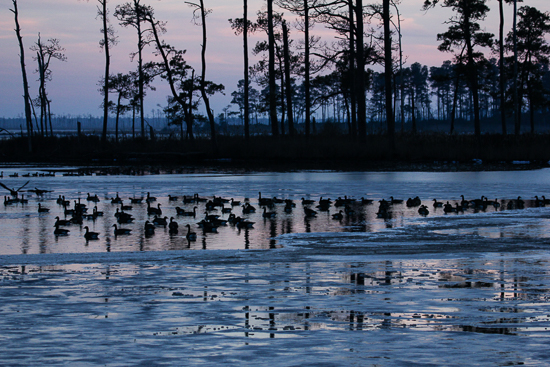 poplar island geese.jpg