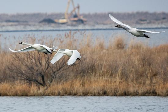 poplar island swans.jpg