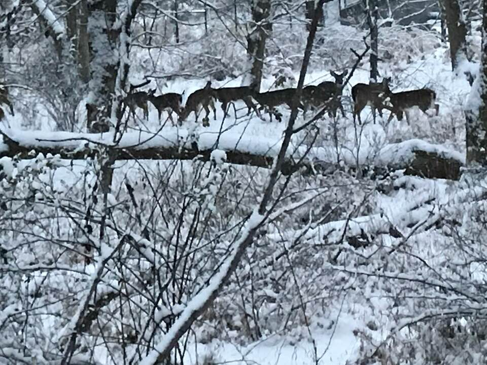 Deer on Muddy Branch Trail. Photo taken this week by Pete Darmody. We just planted native trees along this trail -- hoping they survive the winter.