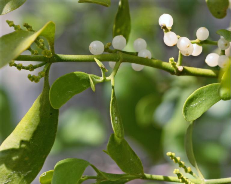 Oak mistletoe (Phoradendron leucarpum) berries are very important for wintering wildlife. Photo by Mary Keim.