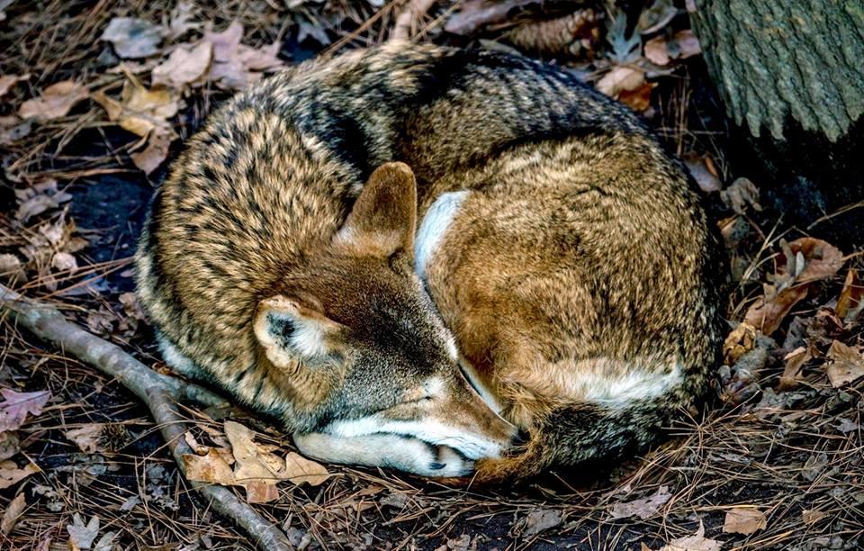 fox sleeping r johnson.jpg