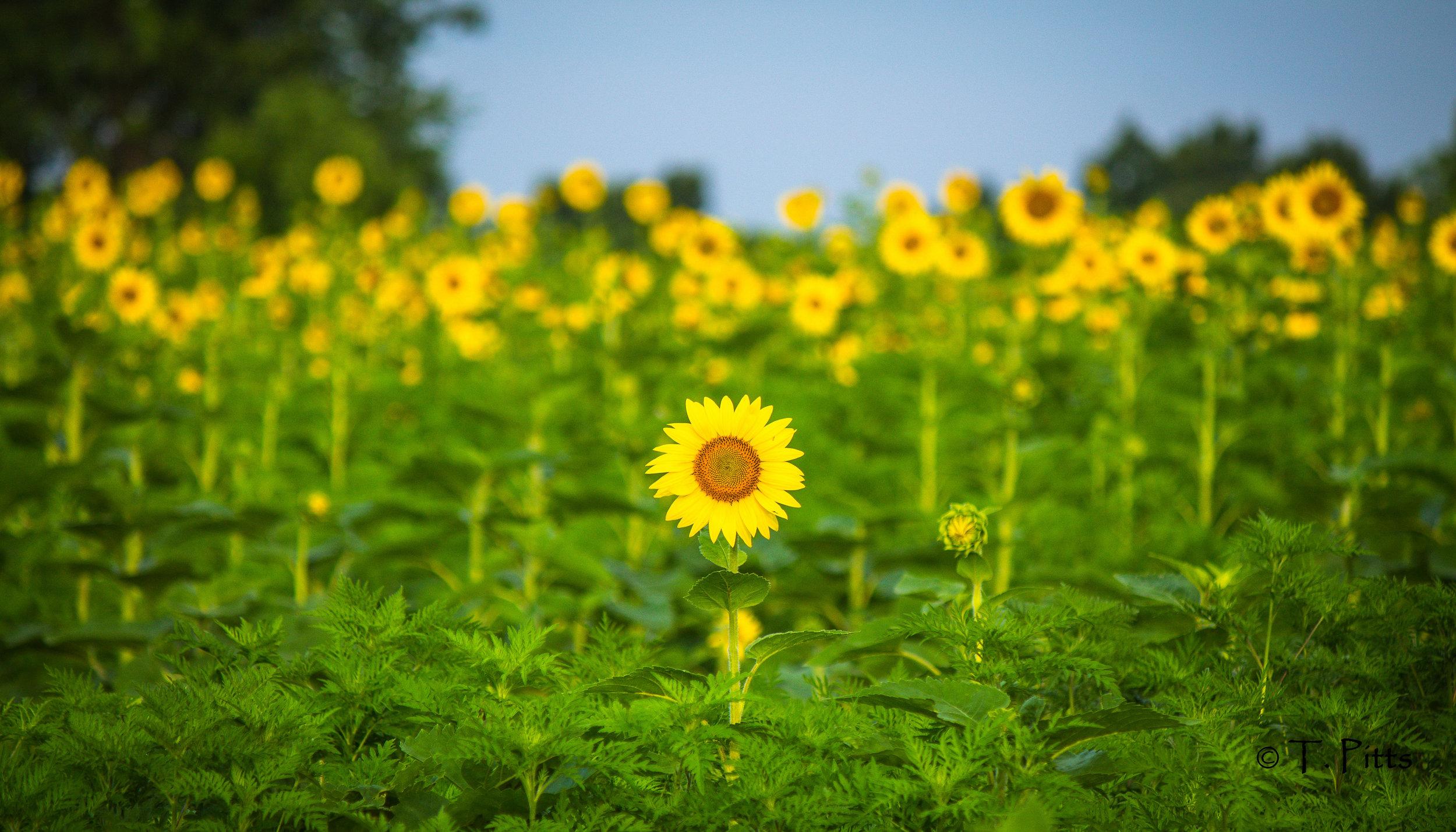 sunflower Terri Pitts.jpg