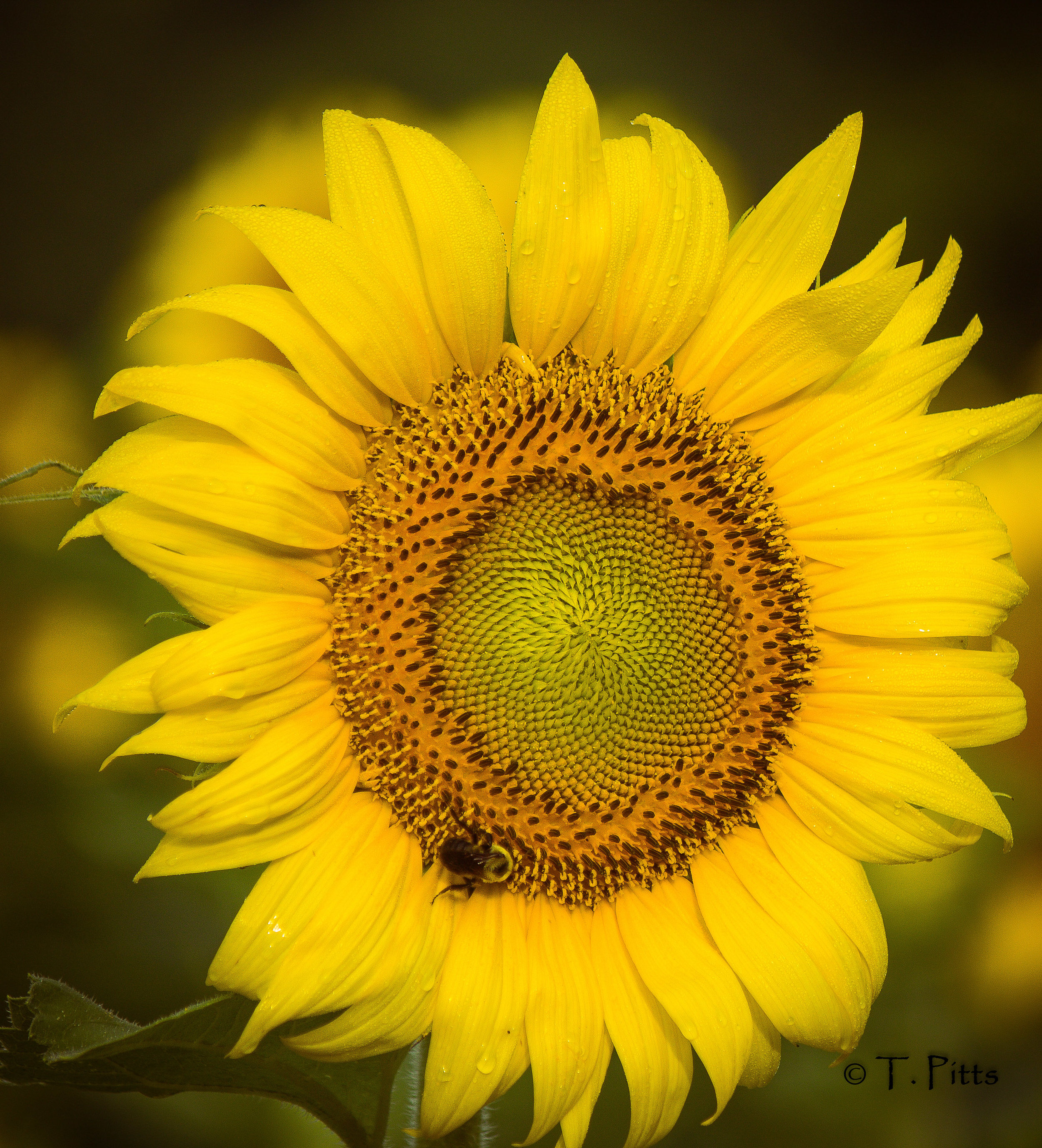 sunflower Pitts1.jpg