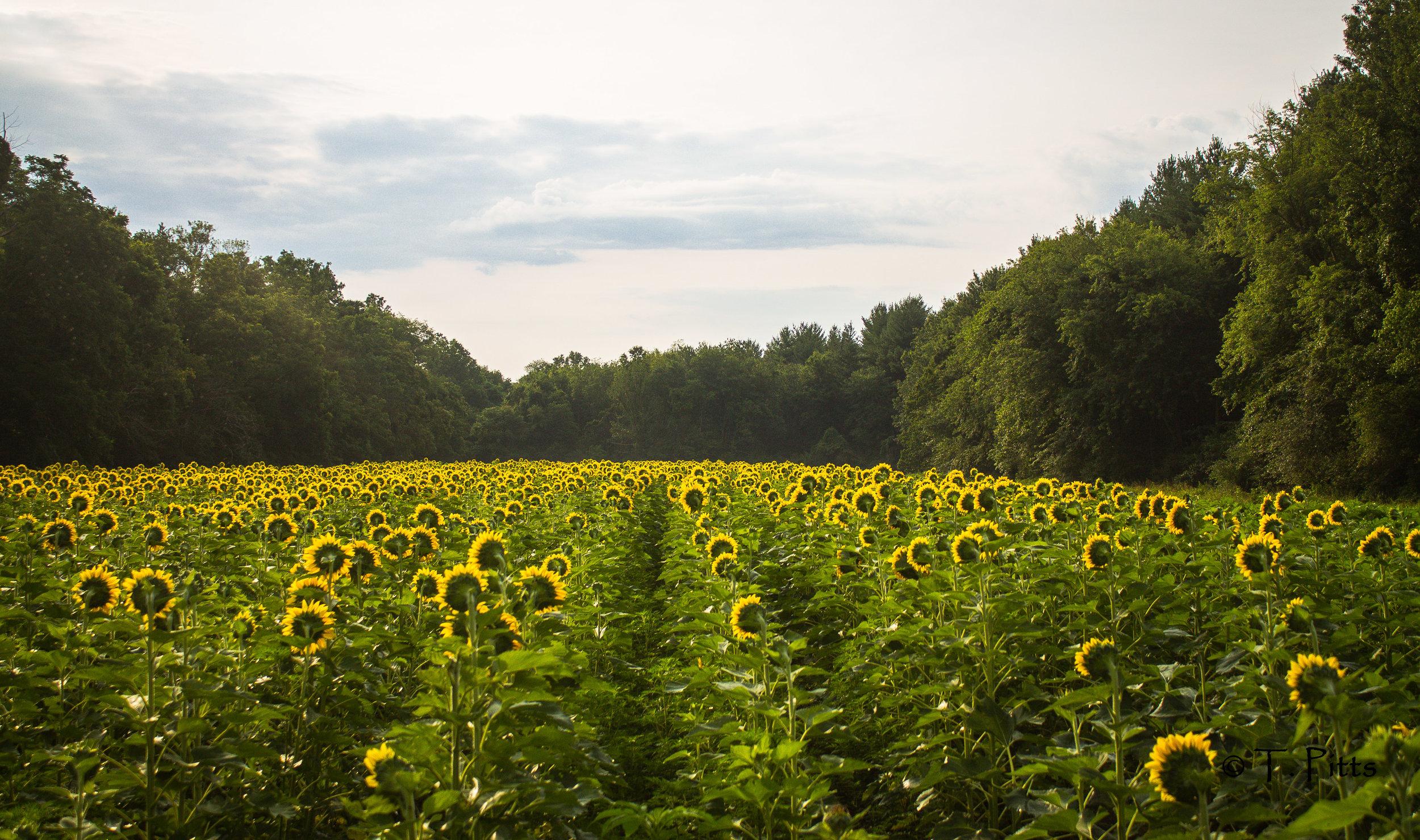 sunflower pitts2.jpg