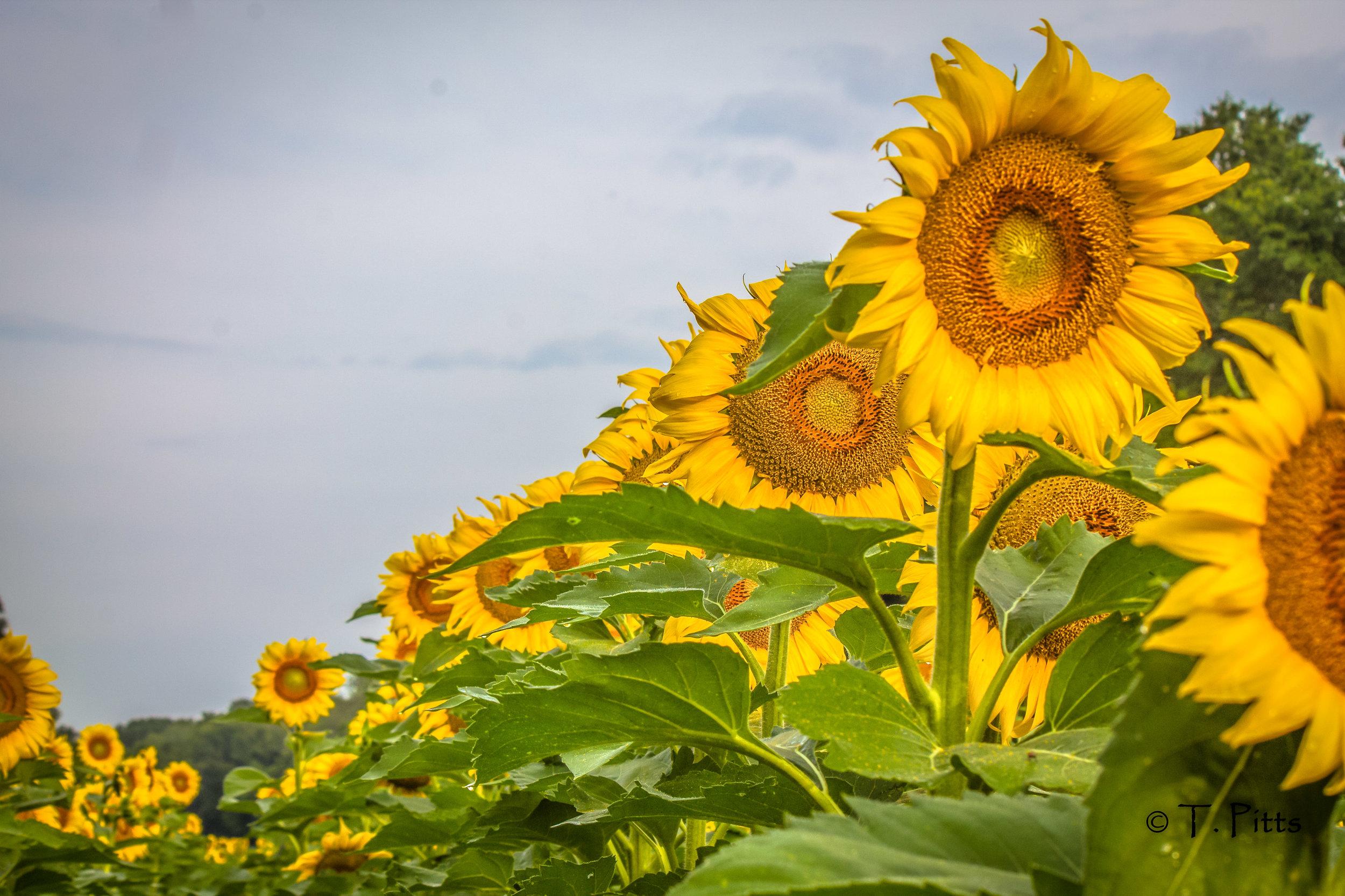 sunflower Pitts.jpg