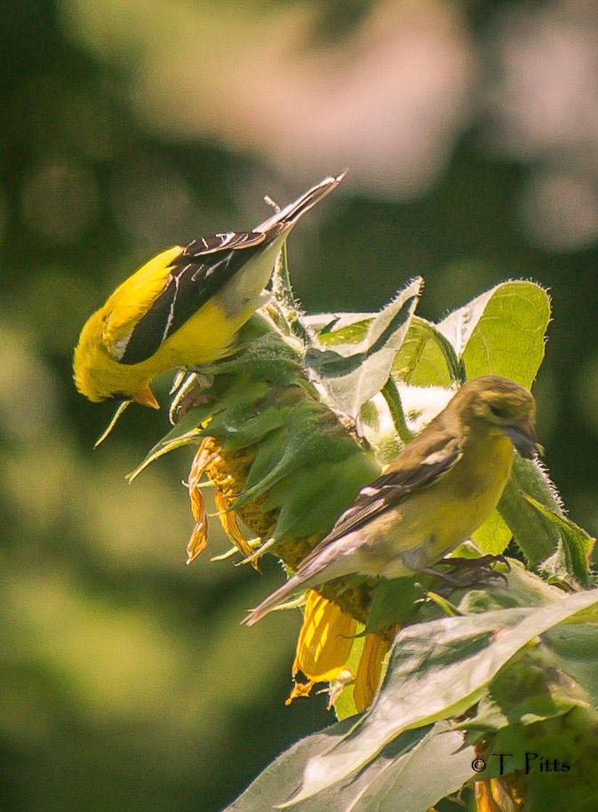 sunflower finches2.jpg