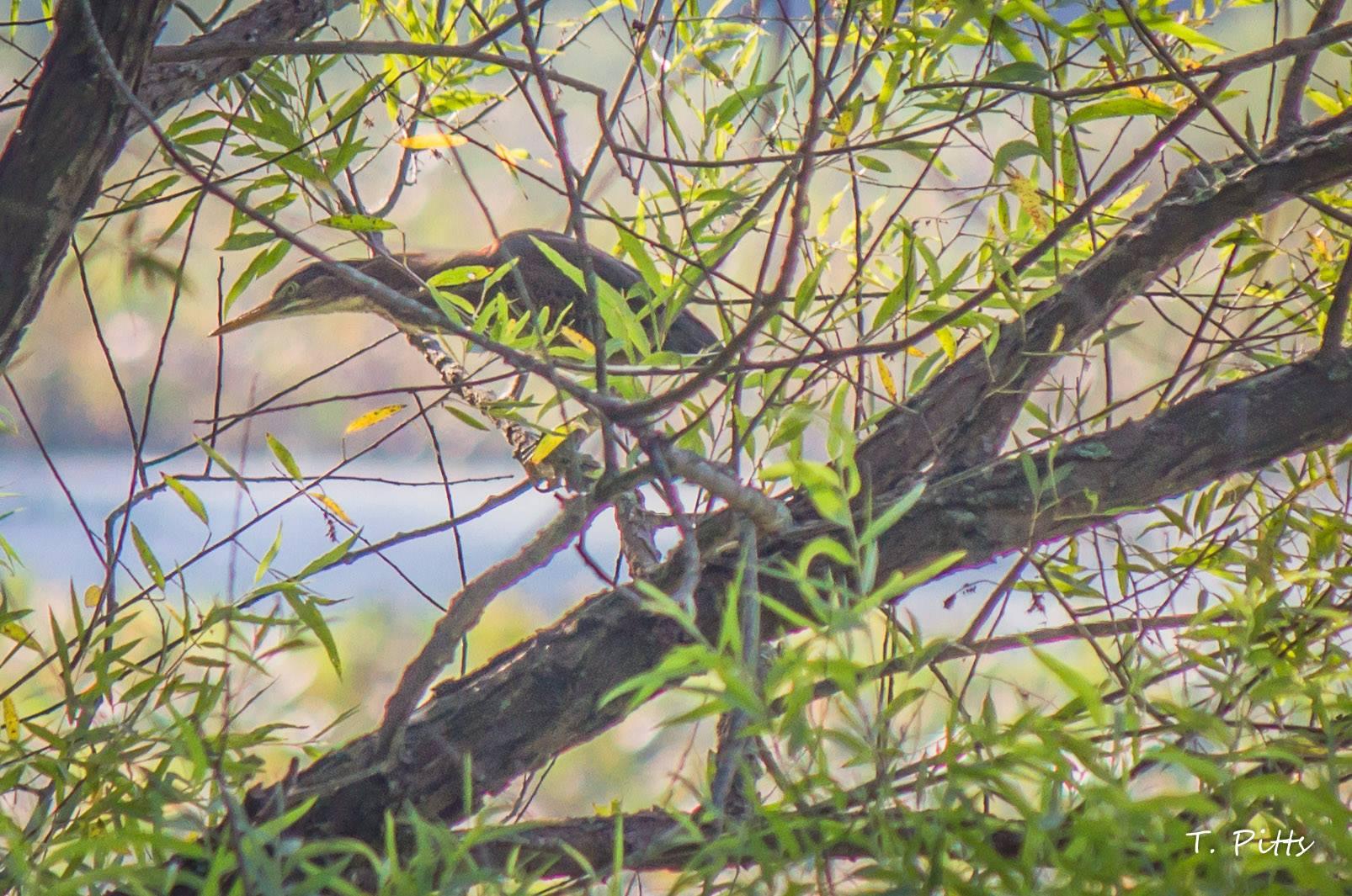 heron - pitts.jpg