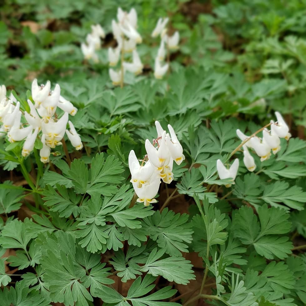 dutchman's breeches, lauren h..jpg