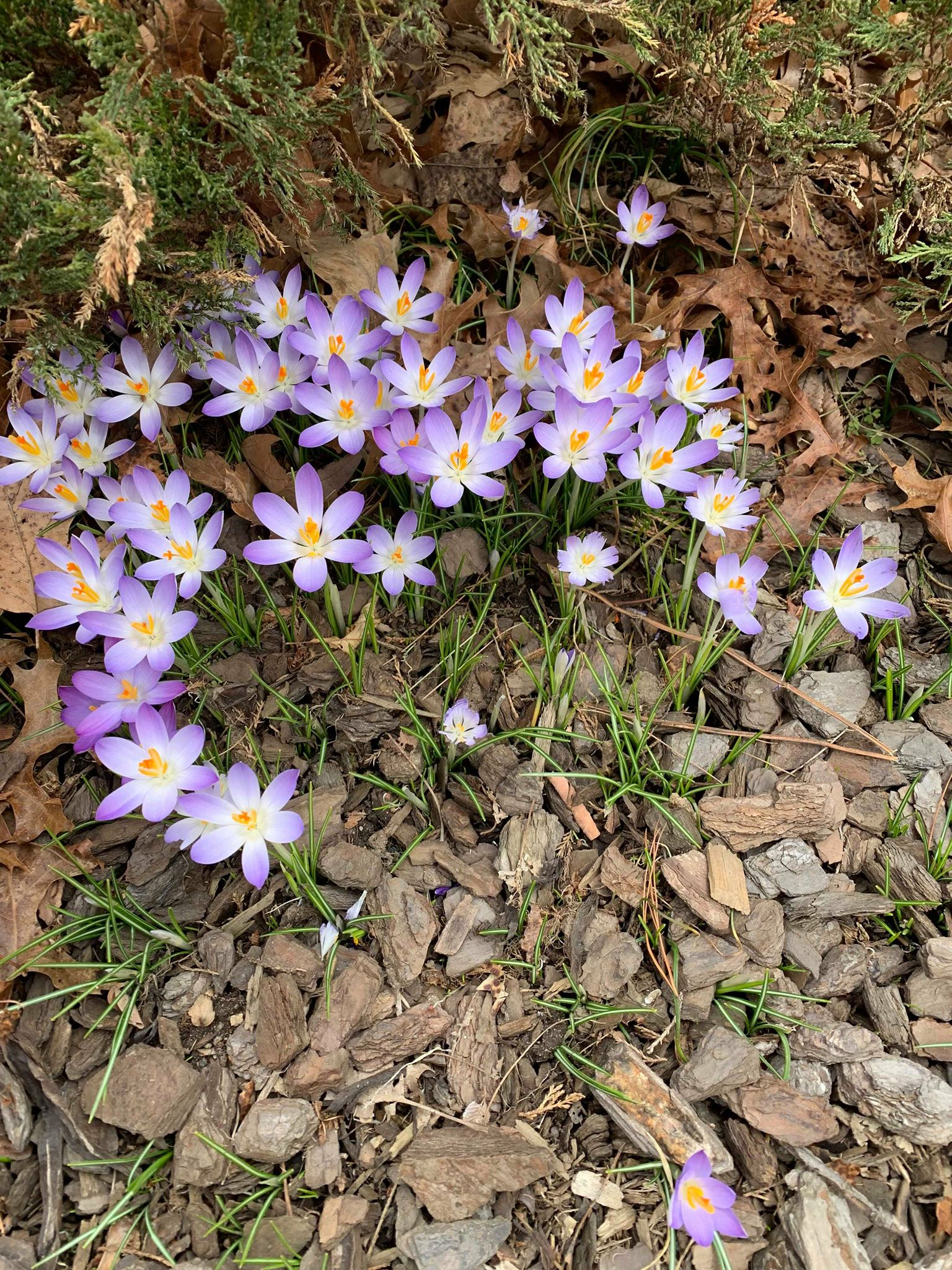 crocus 2 jared.jpg