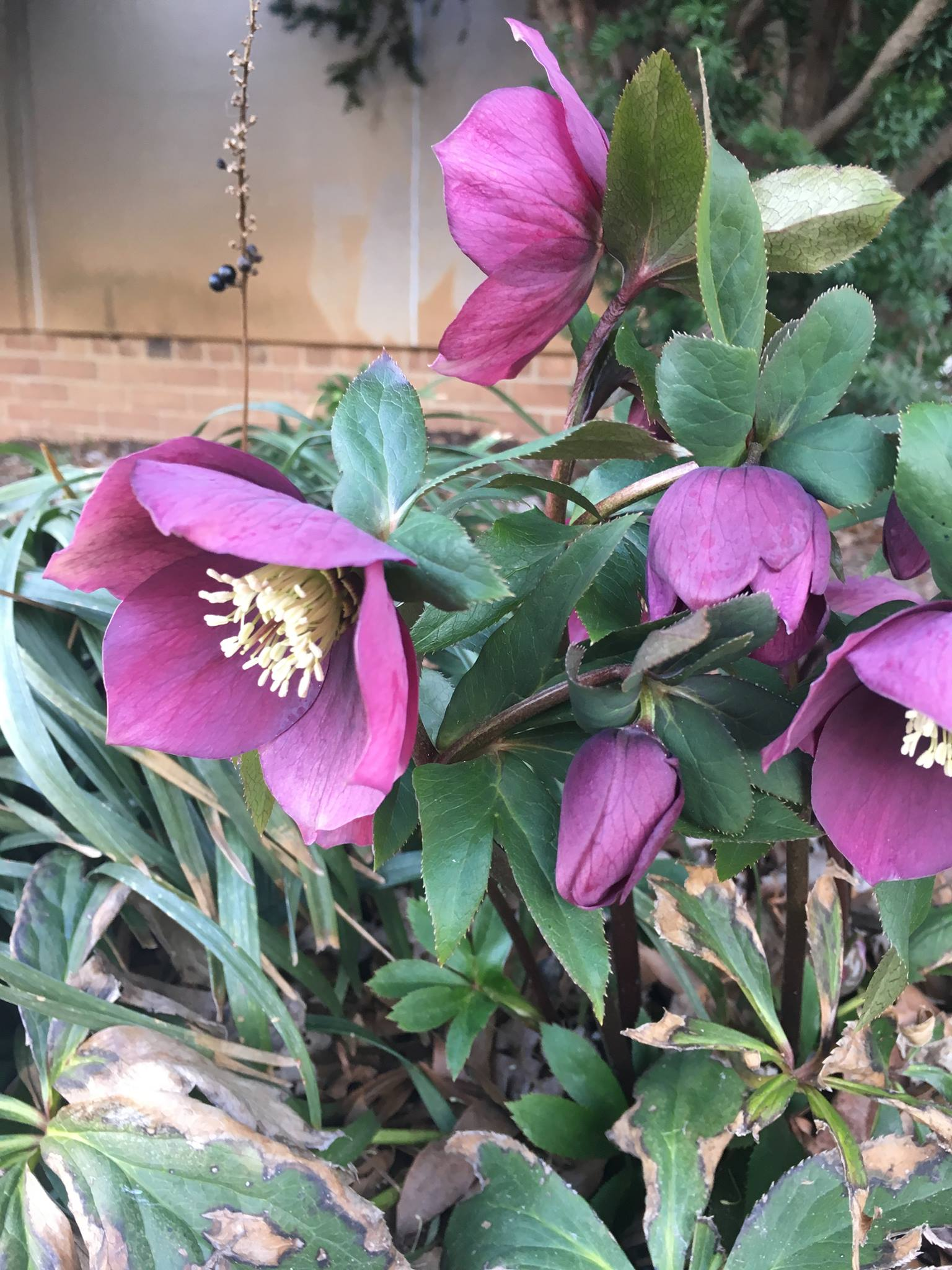 lenten rose - julie savage.jpg