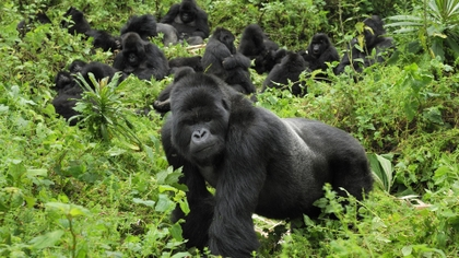 Mountain Gorillas, the gentle giants