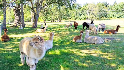 Krystal Acres - Alpaca Farm