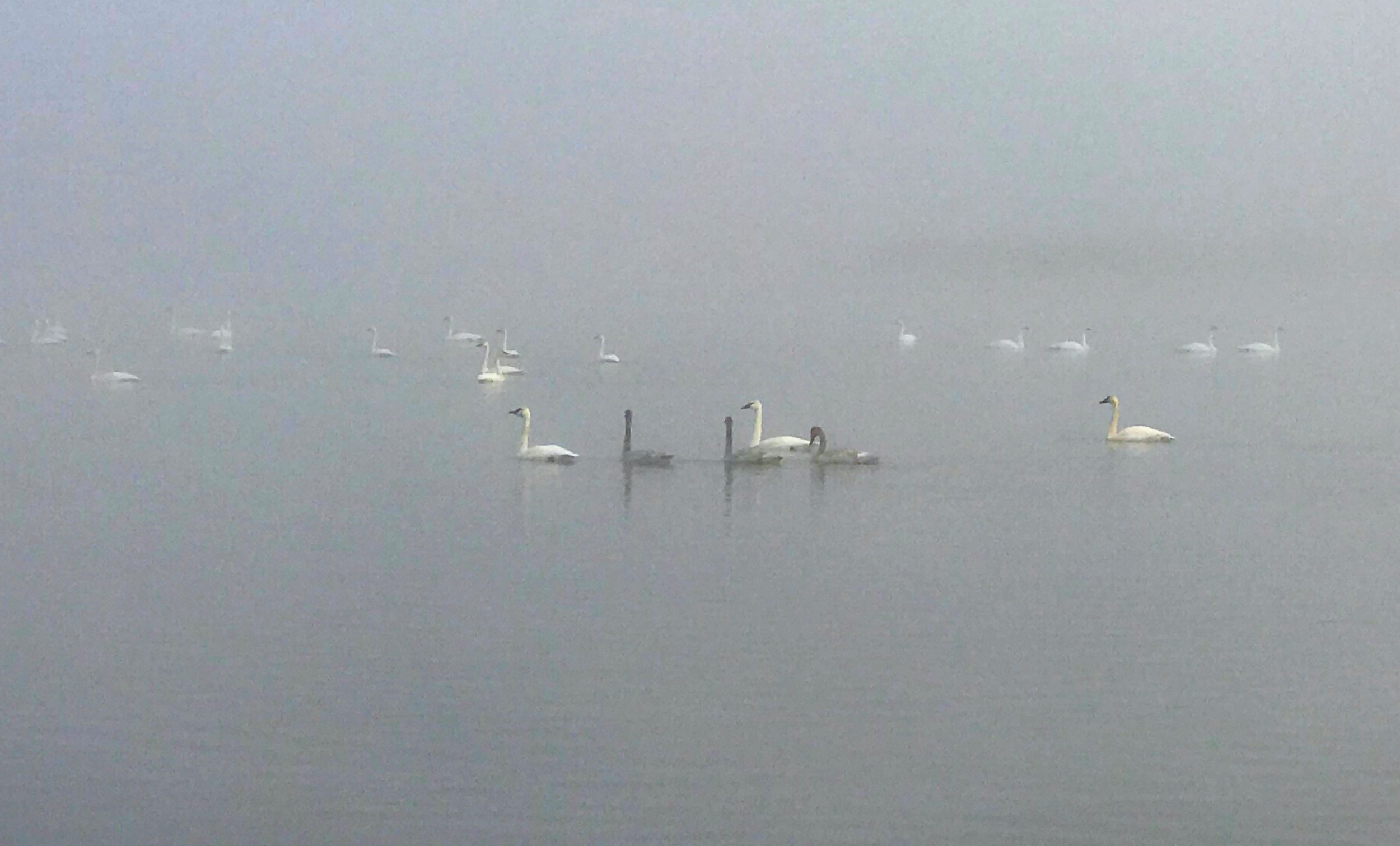Beautiful Trumpeter Swans in the fog