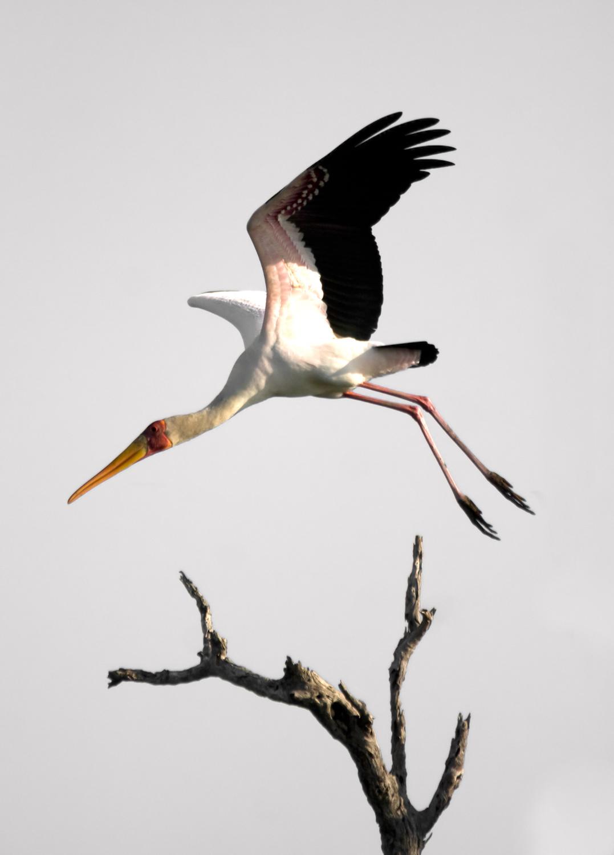 yellow billed stork.jpg
