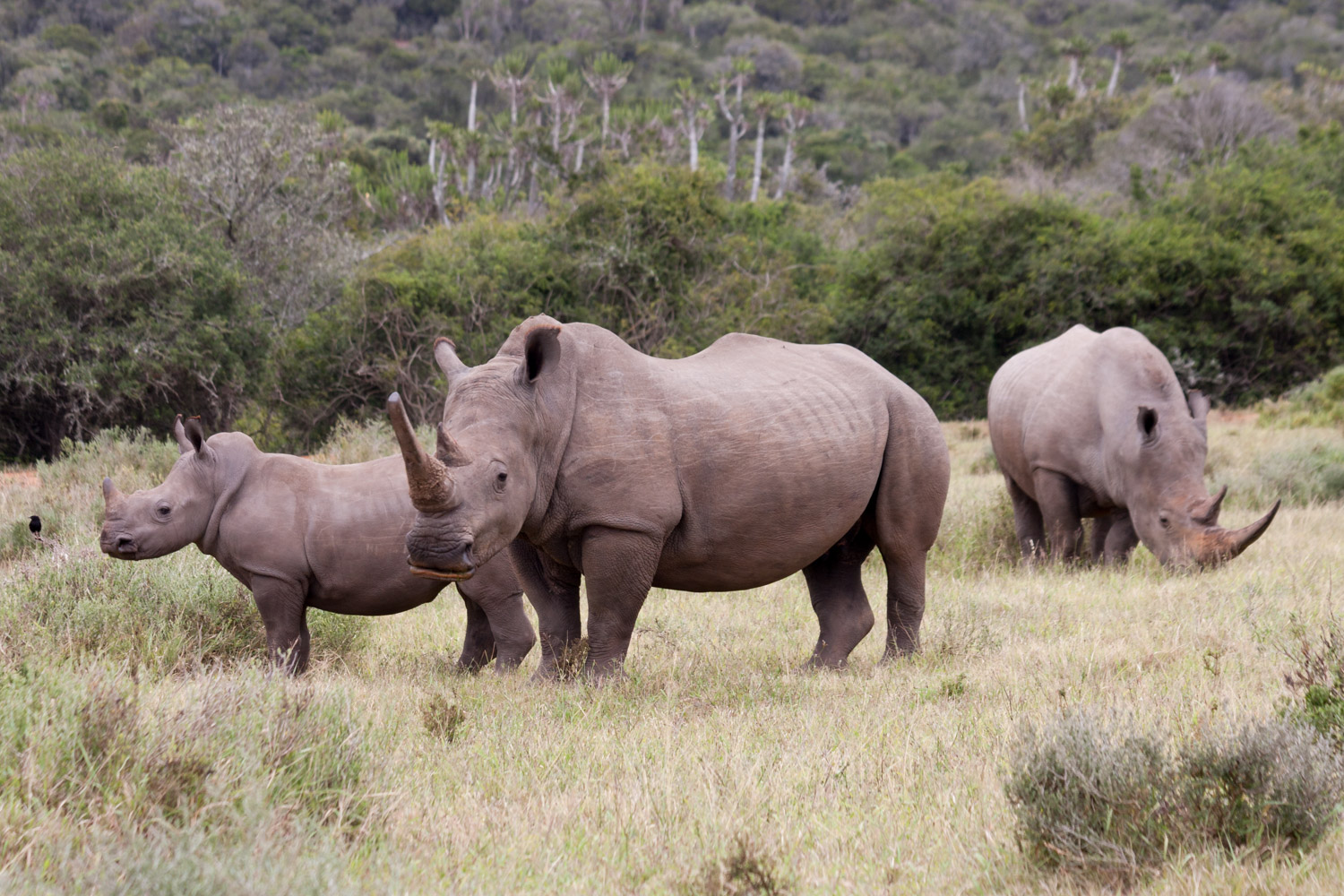 A rhino family in South Africa