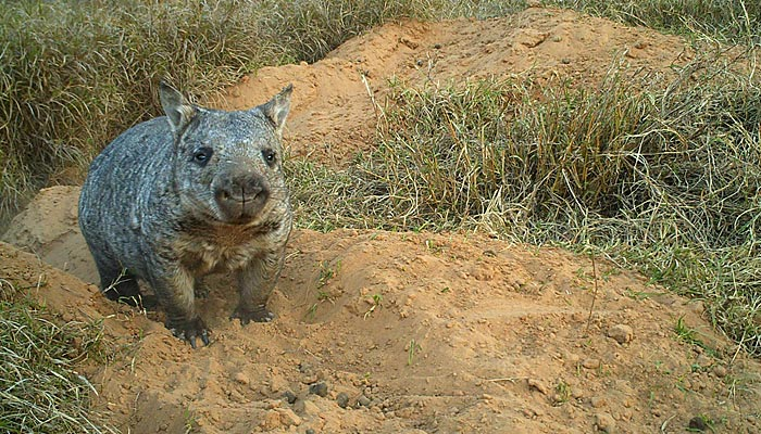 The northern hairy-nosed wombat ( Lasiorhinus krefftii ) (Image from the  Department of Environment and Heritage Protection )