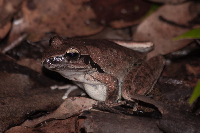 Stony creek frog ( Litoria wilcoxii ) at night