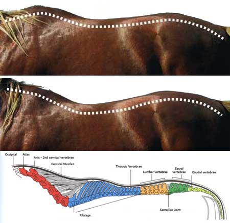 Placing a rider on the young horse's long and weak back causes it to 'dip'