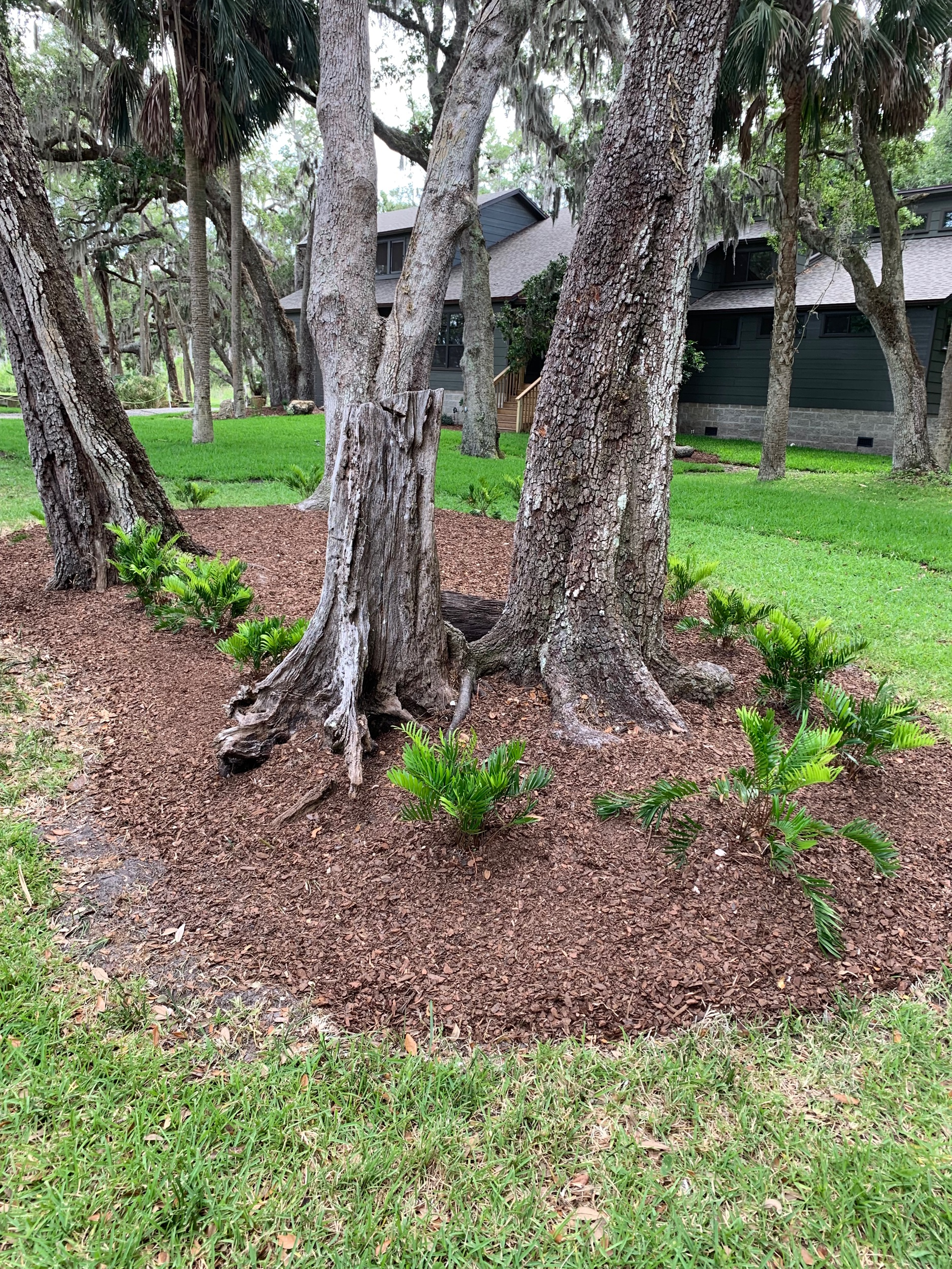 Phase .5 of a large landscape install! Coontie palms and cool roots.