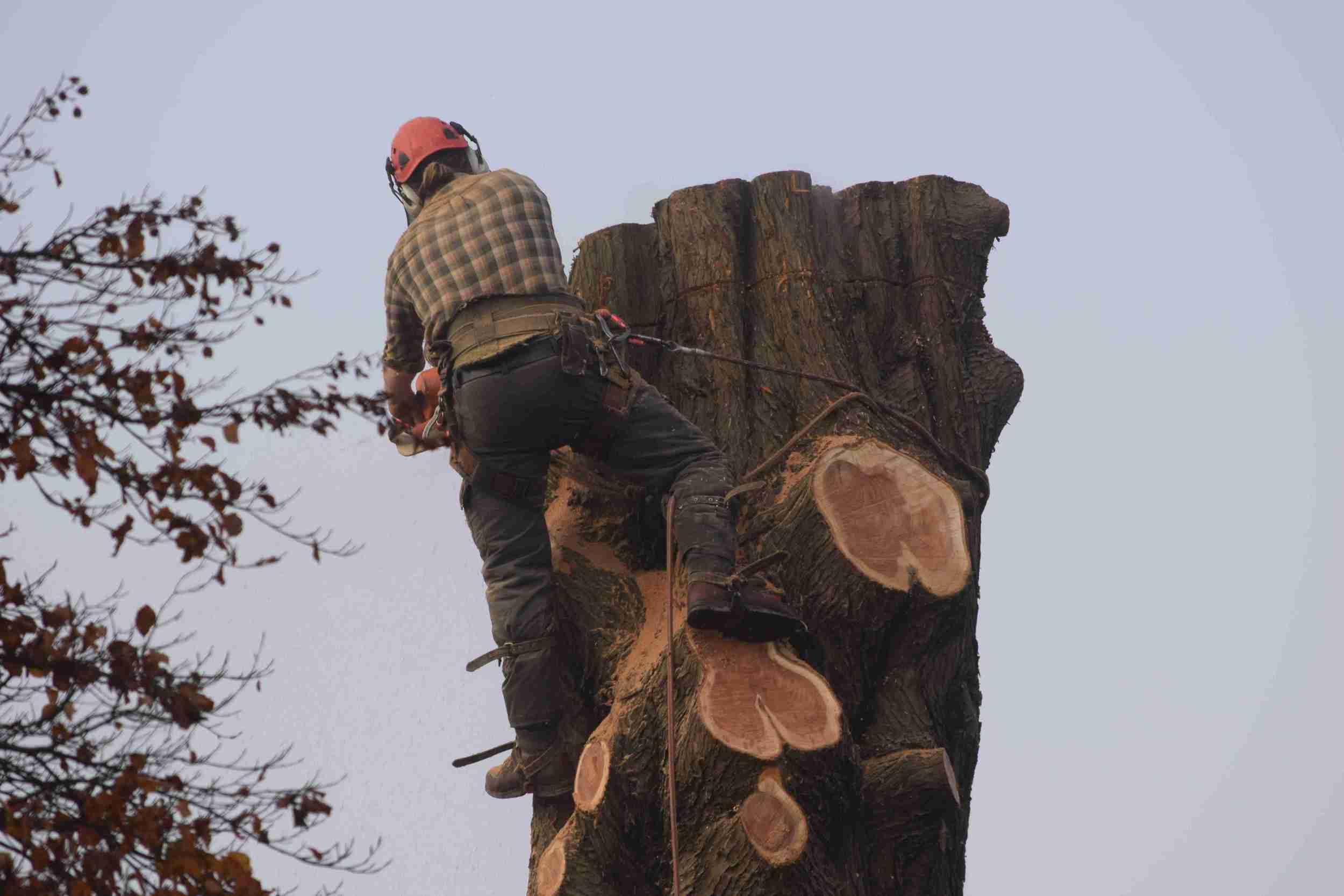 Tree Surgery - Tree Removal