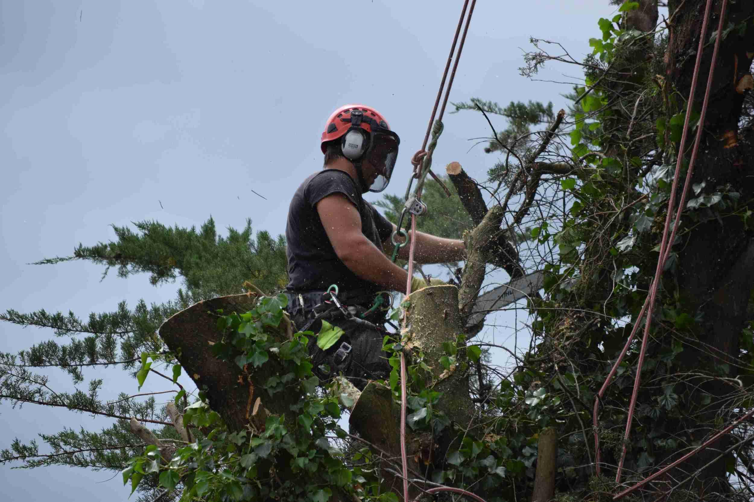 Tree Surgery Pruning