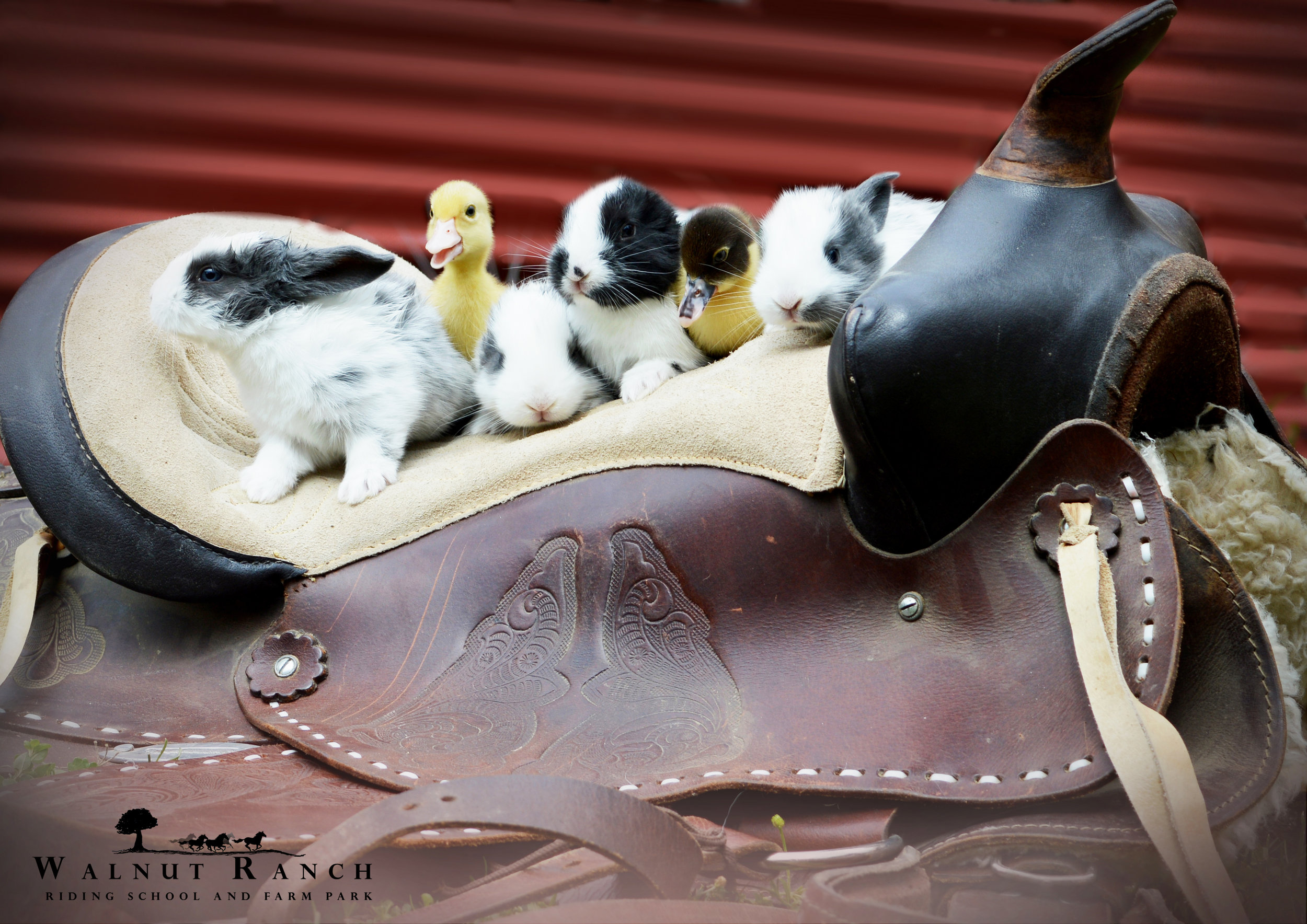 Ducklings and Bunnies on the Saddle