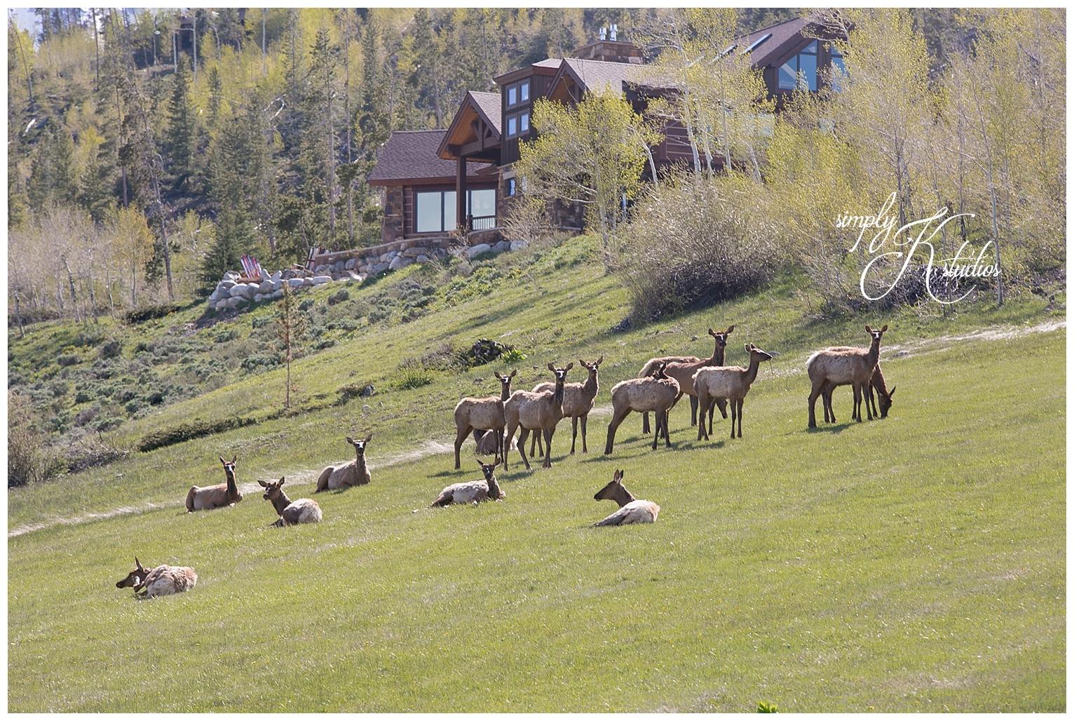 Elk in CO.jpg