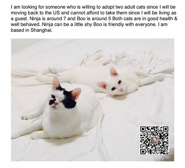 In case you are interested or know anyone who would be interested in adopting two cats, they are in need of a forever home #Shanghai #catsofinstagram #thinkadoption I have been struggling through some personal stuff in Shanghai for several years now, I cannot afford to keep these beauties since I need to take a mental break from working to recover from my own personal hardships. Sometimes you don't know what life will throw at you whether it's health, financial, work or socially taboo things, that all come at once that aren't so convenient to share so you smile as you suffer. There are flight volunteers in Shanghai that can help if you are willing to take them. Please dm if you can help or email sandychu.chu@gmail.com both are rescue cats from the street. Please refrain from judging since you don't know my story.