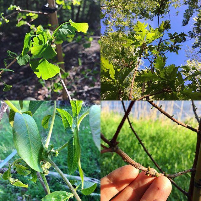 Zonknäckeri o lite krydda på tillvaron 🙂 Här är ett par för Norrland exotiska träd som jag planterade på friland i fjol o som nu är i full gång 🌱 Ginkgo, druvek, äkta valnöt & sumpcypress 🌿