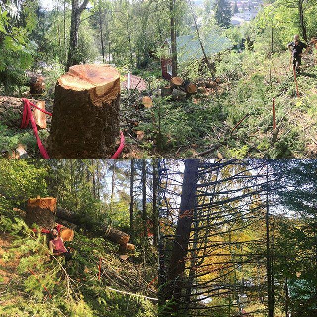 Värsta trädet hittills i karriären. 30 meters Douglasgran, lutande o tung mot hus. Mätte 1m i diameter o stod i brant slänt med både jordkällare o huset då precis nedanför. Svettigt värre 😌 Tack för hjälpen Erik @erikhagerlind