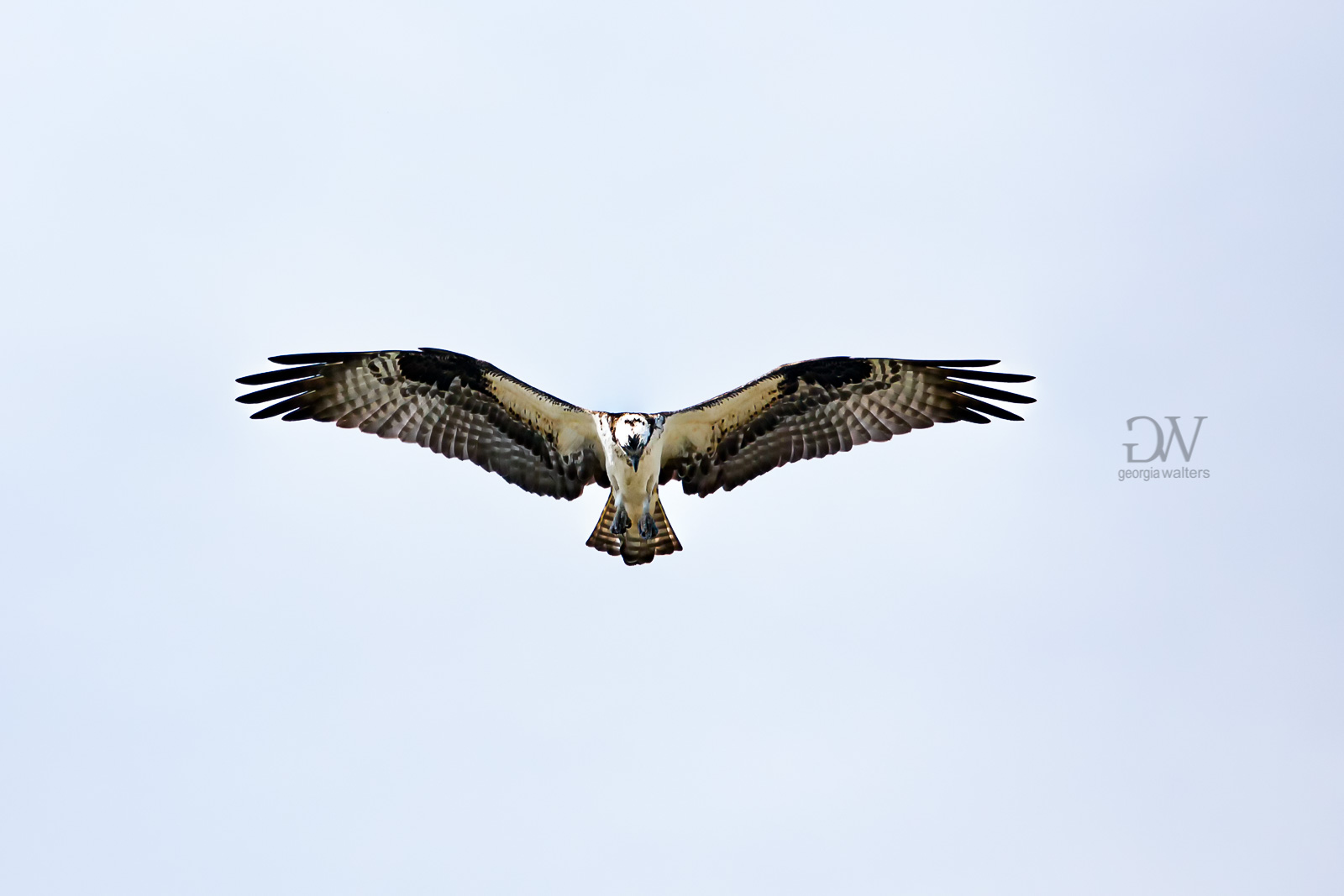 Osprey in flight. The feathers on his wings create the image of skulls.