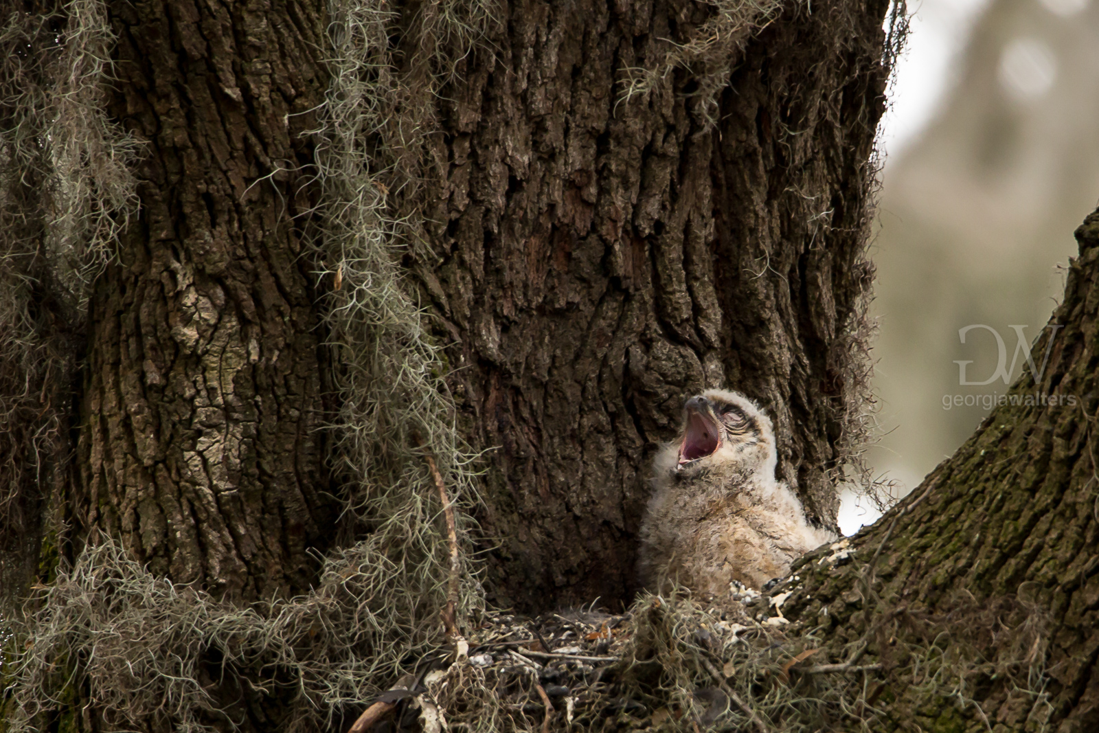Great horned owlet yawning.